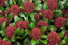 Red Skimmia japonica rubella at New Covent Garden Flower Market - January 2015