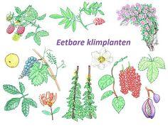 Op zoek naar een meerjarige, eetbare klimplant? Er is zo veel meer keuze dan alleen druiven. Interesse in klimplanten die vruchten, groenten, theekruiden en/of bloemen geven, lees snel verder!