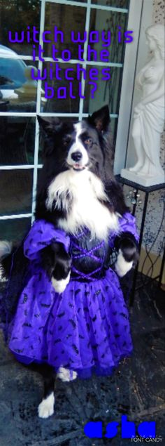 ALWAYS READY FOR A BALL...A TYPICAL BORDER COLLIE