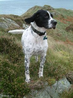 english pointer dog photo | English Pointer Wallpapers, Pictures & Breed Information