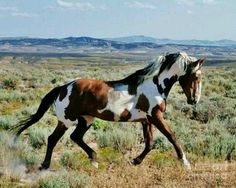 """Wild pinto stallion """"Picasso"""" from Sand Wash Basin. Photo credit: Plusten Photography This is the real stallion from """"the girl who loved wild horses"""" All The Pretty Horses, Beautiful Horses, Animals Beautiful, Cute Animals, Beautiful Things, Wilde Mustangs, Cheval Pie, Majestic Horse, Horse Pictures"""