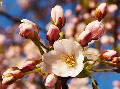 Cherry blossom #photography #spring #cherryblossom #sakura