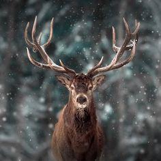Hirsch Wallpaper, Deer Wallpaper, Animal Wallpaper, Nature Animals, Animals And Pets, Baby Animals, Cute Animals, Wildlife Photography, Animal Photography