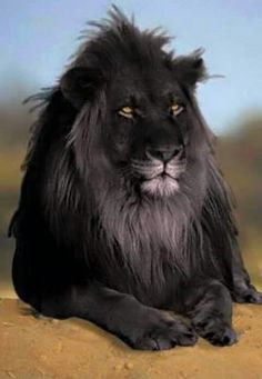 HAVE YOU EVER SEEN A BLACK LION? RARELY  BUT IT EXISTS..