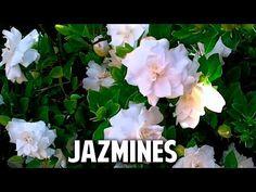 Cómo reproducir jazmín o gardenia por esqueje   Plantas