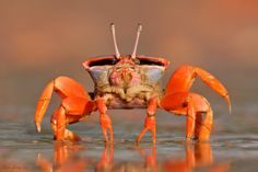 "Darwin Red-legs Fiddler Crab"" by Ofer Levy"