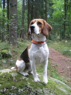 Beautiful two year old beagle #beagle