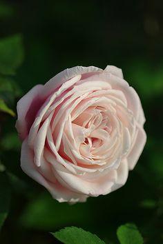 Tea Rose: Rosa 'Madame Antoine Mari' (France, before 1890).