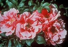 Exploring Explorer roses - landscape ontario.com Green for Life Shrub Roses, Spring And Fall, Hedges, Shrubs, Landscape Design, Red Roses, Ontario, Bloom, Exploring