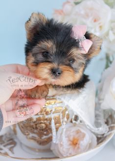 Tiny Yorkie Puppy by TeaCups Toy Teacup Puppies For Sale & Teacups, Puppies & Boutique. Teacup Puppies For Sale, Cute Dogs And Puppies, Teacup Dogs, Teacup Yorkie, Adorable Puppies, Doggies, Yorkie Puppy For Sale, Yorkie Dogs, Cute Funny Animals