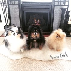 Pomeranian, pom,  dog, puppy, blue merle, cream, black & tan, fluffy.  Search POMMY GIRLS on Facebook & Instagram.
