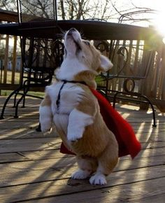 Up, up and away!  It's Suuuuperrrrr Corgi...