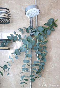 Hang a branch of eucalyptus in the shower for refreshing scent and respiratory relief during the cold and flu season #herbs #herbalism #herbalmedicine Eucalyptus Shower, Dried Eucalyptus, Eucalyptus Essential Oil, Types Of Olives, Soap Maker, Homemade Soap Recipes, Milk Soap, Cold Process Soap, Natural Cleaning Products