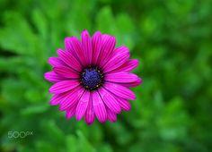 Bodrum papatyası (African daisy) Osteospermum - Bodrum Papatyası  Tohumdan yetiştirmek biraz zahmetlidir. Çiçekleri papatyaya benzer. Bu çiçeklerin renkleri, mavi, mor, pembe, san ya da krem olabilir. Yaprakları mızraksıdır. Bazı türlerinin kenarları düz, bazıları tırtıklıdır. Tohumlarını ekmek için en uygun dönem mart ayıdır. Ekimi kapalı ve ılık bir yerde yapın. Fideden yetiştirmek daha kolaydır.
