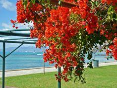 Bougainvillea by the beach