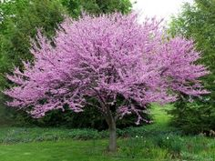 Eastern Red Buds have beautiful purple/pink flowers