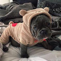 Blue French Bulldog Puppy in a 'Teddy Bear' Onesie