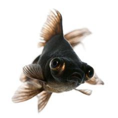 ♥ Fish Care Tips ♥ Black moor goldfish, as the name suggests, is a variant of goldfish and very popular as a pet. Here are some tips about the care and maintenance of this little fish, if you happen to bring it home as a pet.