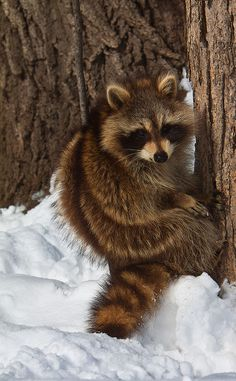Raccoon Hanging Out