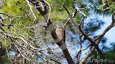 Predatory bird in the crown of trees