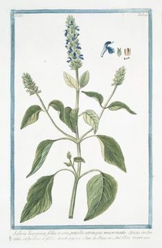 Flowers Illustration Botanical Artists 17 Ideas For 2019 Salvia Hispanica, Flower Backgrounds, Flower Wallpaper, Botanical Flowers, Botanical Prints, Flower Logo, Flower Art, Illustration Blume, Vintage Drawing