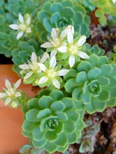 Rhodiola pachyclados - Gray Stonecrop is a lovely evergreen groundcover, up to 6 inches (15 cm) tall. It forms a spreading carpet of...
