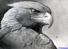 How to Draw a Eagle | How to Draw a Realistic Eagle, Golden Eagle, Step by Step, Birds ...