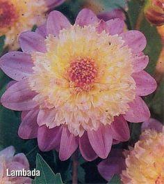white and deep purple dahlias | Shooting Star Cactus Dahlia Tuber – Creamy Yellow! | Plants