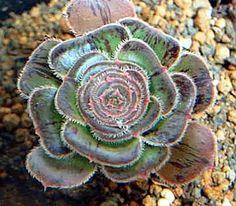 Aeonium arboreum variegata by 324connie