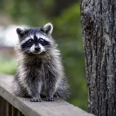I HAD MANY RACCOON'S AT MY PREVIOUS HOME IN TAMPA FL. THEY WERE SO CUTE AND FRIENDLY. ONE EVEN HUGGED MY LEG.