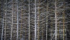 Tree trunks in winter fine art photography print - Copyright © Elena Elisseeva