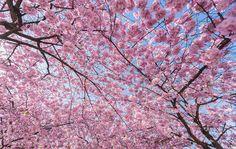 Cherry trees in Kungsträdgården -Stockholm, Sweden © Magnus Lillieborg