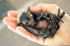 Tolga Bat