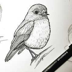 Pen drawing of a robin by @artbyfoxwong.