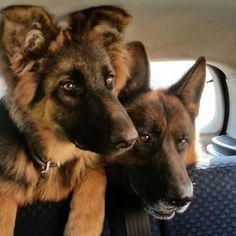 German Shepherd Fan Page - #gsd#germanshepherdsofinstagram…
