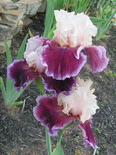 TB Iris germanica 'Sweet Seduction' (Blyth, 2007)