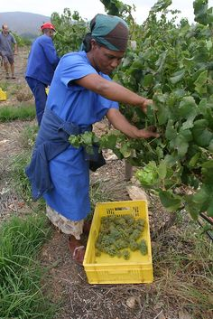 wine grape harvest at Arensdig in Robertson, South Africa Places Around The World, Around The Worlds, South African Wine, Wine Vineyards, Wine Tags, Farms Living, World Photo, Lush Garden, Afrikaans