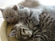 British Shorthair Kittens, Cattery Chabel, www.catterychabel.nl, The Netherlands