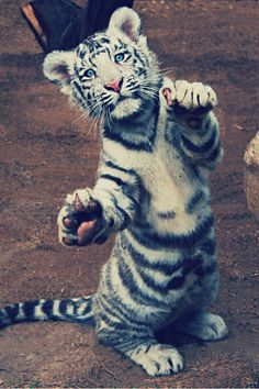Tigers are so beautiful, especially cubs! They're adorable