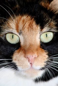 Cute Calico Kittens That Will Bring Your Dead Heart Back To Life Cute Cats And Kittens, Big Cats, I Love Cats, Crazy Cats, Cool Cats, Kittens Cutest, Pretty Cats, Beautiful Cats, Animals Beautiful