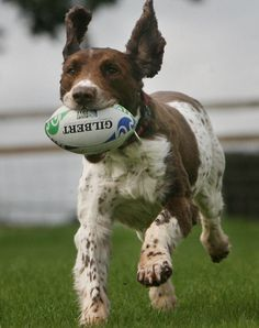 Oh my god a rugby playing Brittany! This is a picture of my favorite things in life! Rugby Kit, Rugby Games, Womens Rugby, Irish Rugby, Silly Dogs, English Cocker Spaniel, Rugby Players, World Of Sports, Mans Best Friend