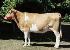 Gurnsey cow. Arguably the best milk cows on the planet.