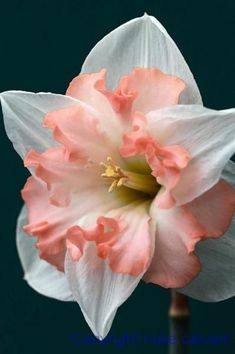 flowersgardenlove:  Narcissus Flowers Garden Love