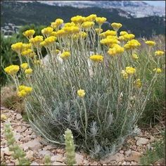 The genus Helichrysum consists of an estimated 600 species, in the sunflower family Asteraceae. The type species is Helichrysum orientale. Seaside Garden, Coastal Gardens, Plant Design, Garden Design, Horticulture, Helichrysum Italicum, Growing Herbs, Trees And Shrubs, Corsica