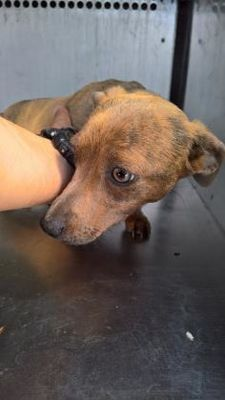 FORT WORTH, TX - CRITICAL SHELTER SITUATION! PLS HURRY! - #38109573 is a SMALL, YOUNG FEMALE DACHSHUND MIX for adoption AVAILABLE to a loving home.