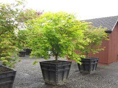 acer Japonicum vitifolium - Google Search