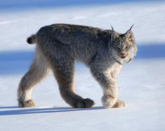 The Canada lynx or Canadian lynx is a North American mammal of the cat family Felidae. It is a close relative of the Eurasian Lynx. However in some characteristics the Canada lynx is more like the bobcat than the Eurasian Lynx. Arctic Animals, Animals And Pets, Baby Animals, Cute Animals, Arctic Hare, Wild Animals, Beautiful Cats, Animals Beautiful, Beautiful Images