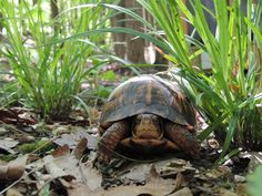 Tips for helping turtles from the Wildlife Center of Virginia. World Turtle Day, Turtles, Virginia, Wildlife, Science, Awesome, Tips, Animals, Tortoises