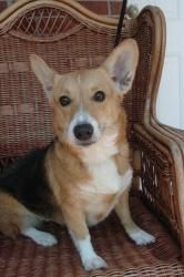 Evie Eclair is an adoptable Welsh Corgi Dog in Atlanta, GA. Five-year-old Evie is a dear Welsh Corgi, Cardigan Mix with lots of energy. Her owner is moving and couldn't take this 25-pound brown-and-ta...