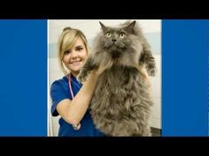 over weight Maine Coon cat that's going to be in The Biggest Loser for animals. in the UK I Love Cats, Crazy Cats, Cool Cats, Fat Cats, Cats And Kittens, Fat Kitty, Kitty Kitty, Beautiful Cats, Animals Beautiful